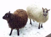 Sheep/SSH003.jpg
