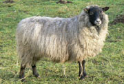 Sheep/SSH002.jpg